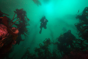 Image of a diver ascending through a kelp forest