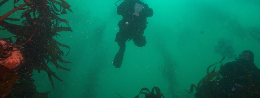 Image of a diver ascending through a kelp forest