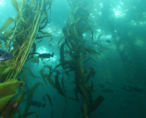 Fish swim through a murky kelp forest with shafts of sunlight coming through the water above