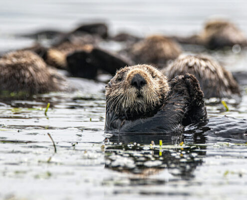 A group of sea otters float in Elkhorn Slough