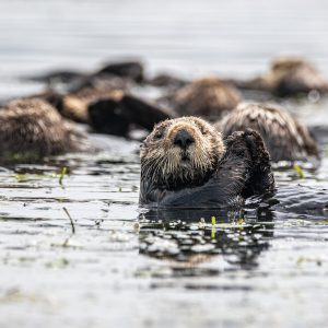 Sea otters floating amidst the kelp in Elkhorn Slough. One faces the camera with its paws raised.